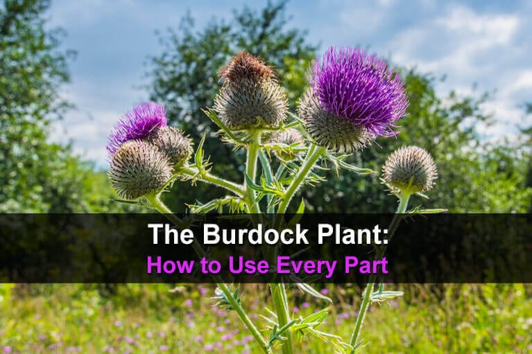 The Burdock Plant: How to Use Every Part