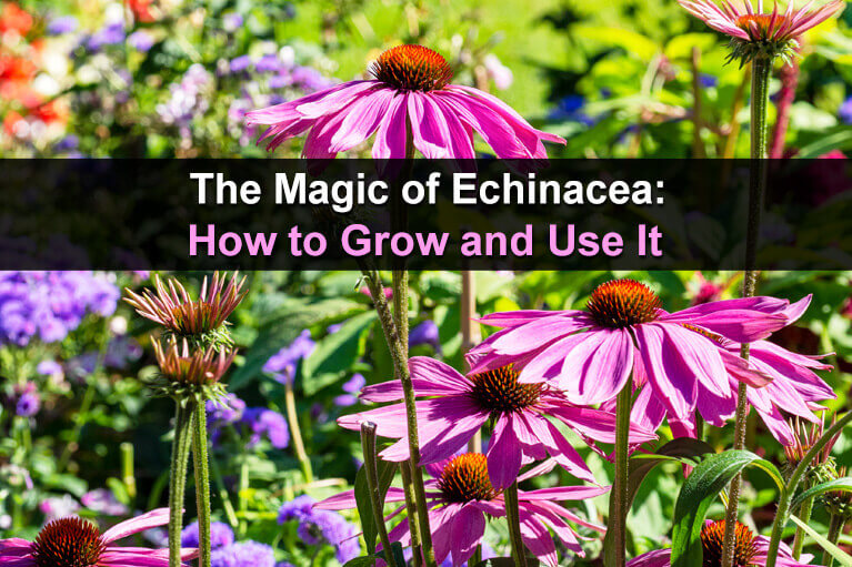 The Magic of Echinacea: How to Grow and Use It