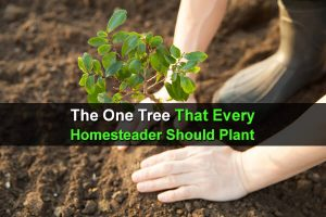 The One Tree That Every Homesteader Should Plant