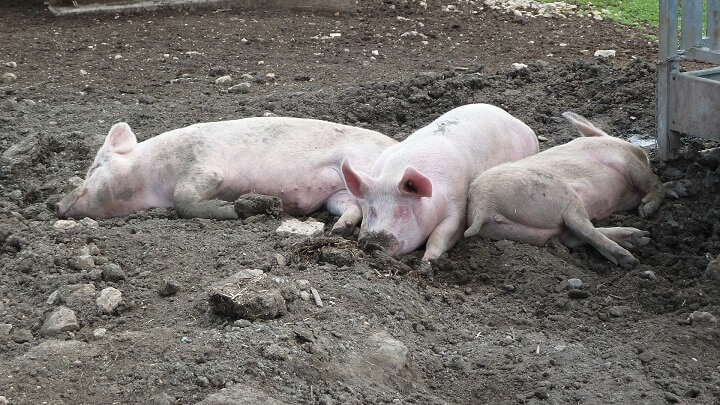 Three Pigs Lying In The Mud