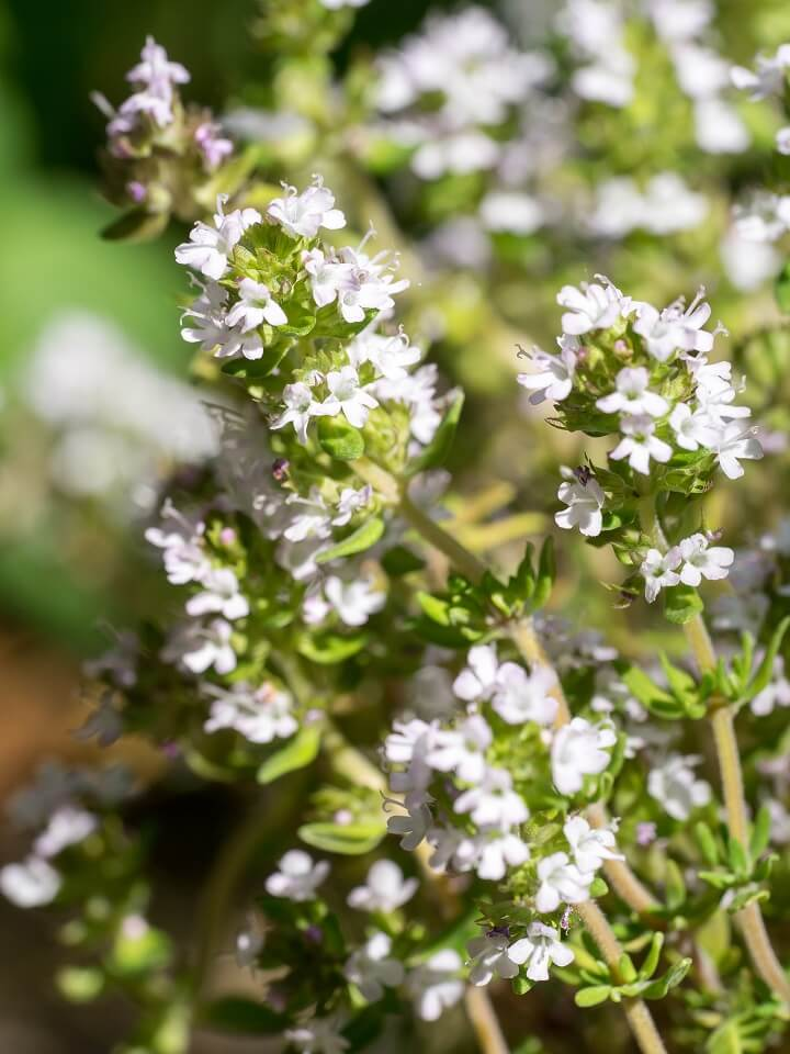 Thyme Blossoms Up Close