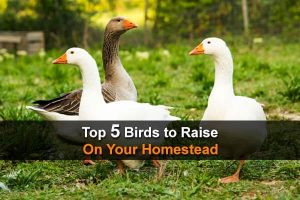 Top 5 Birds To Raise On Your Homestead