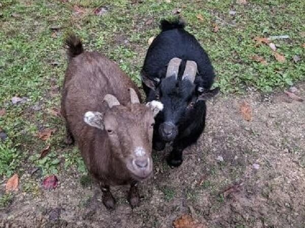 Two Goats | Best Goat Breeds