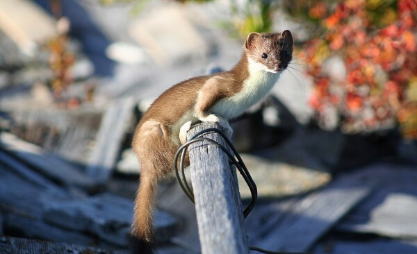 Weasel | Predators to Beware Of On Your Homestead