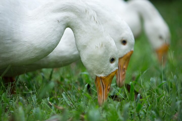 White Ducks Eating Bugs Off Grass