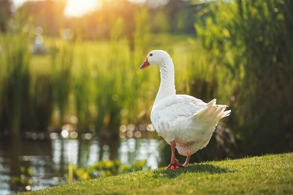 White Goose On Grass