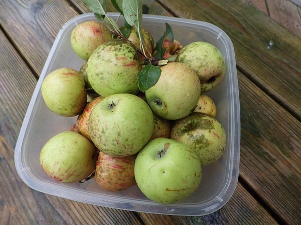 Wild Apple Harvest