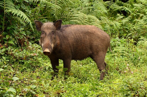 Wild Boar | Predators to Beware Of On Your Homestead