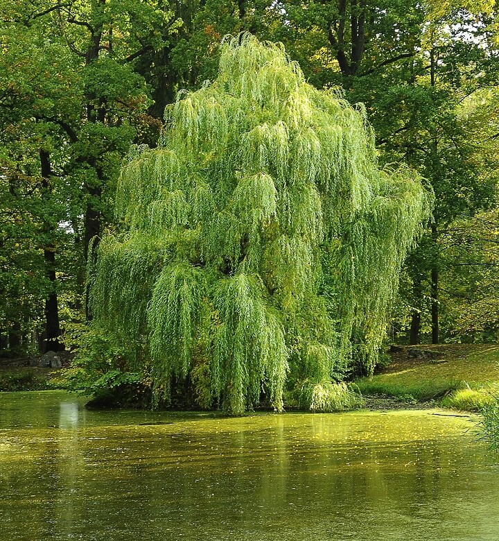 Willow Tree By Pond