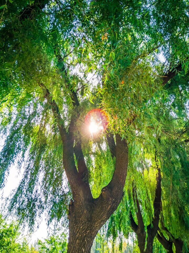Willow Tree in Front of Sun