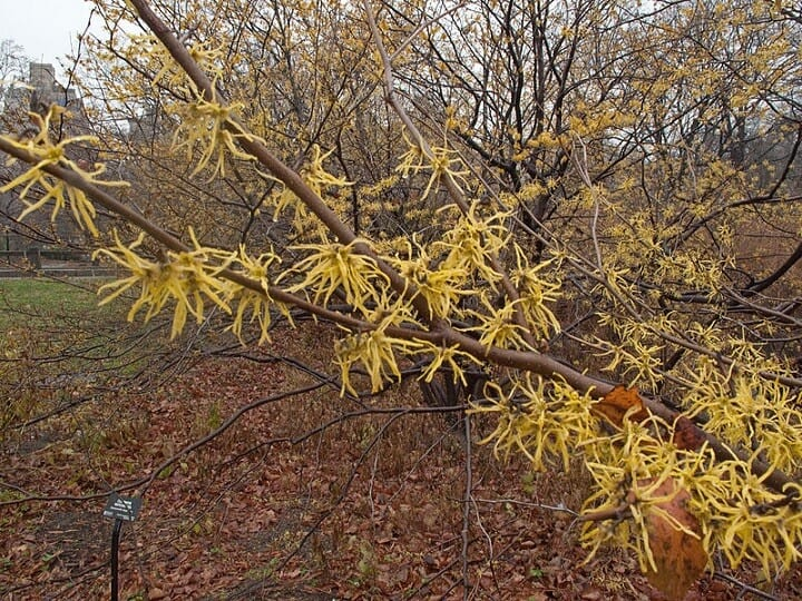 Witch Hazel Branches