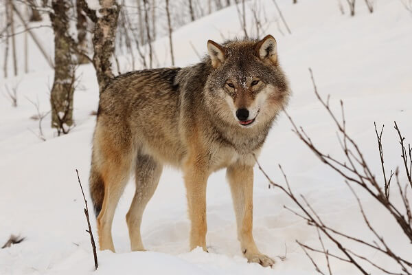 Wolf | Predators to Beware Of On Your Homestead