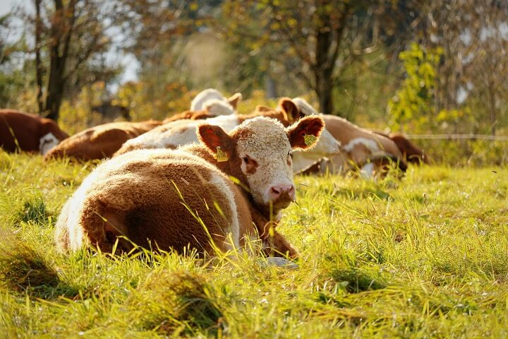 Young Calf Lying In Pasture